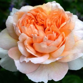 Роза английская Зе Леди Гарденер