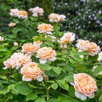 Роза английская Зе Леди Гарденер-2