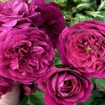 Роза английская Принц-1