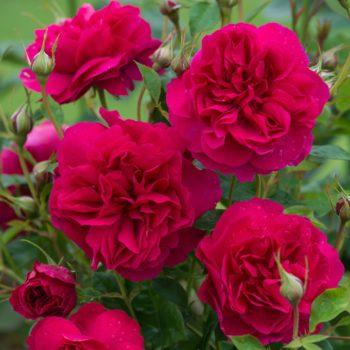 Роза английская Томас Бекет-2