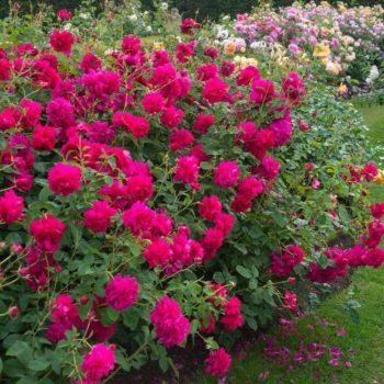 Роза английская Томас Бекет-1