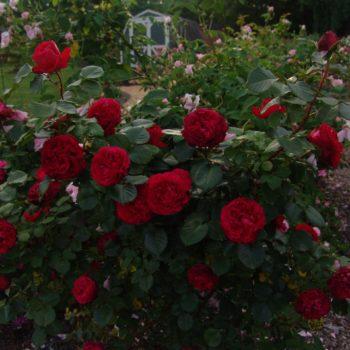 Роза английская Травиата-2