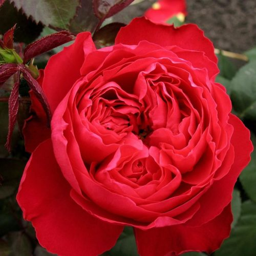 Роза английская Травиата