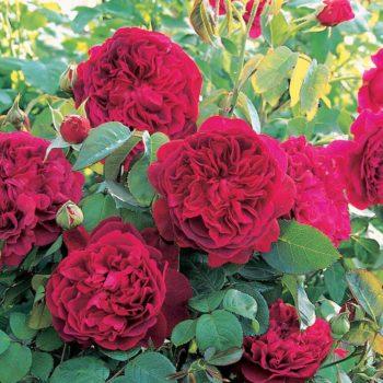 Роза английская Вильям Шекспир-2