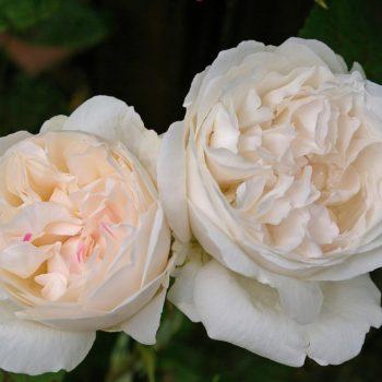 Роза английская Винчестер Кэсидрал-1