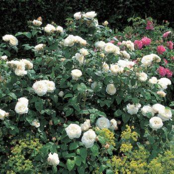Роза английская Винчестер Кэсидрал-2