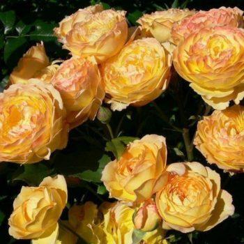 Роза плетистая «Вел Бинг»-1