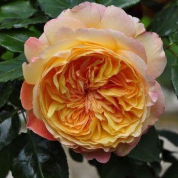 Роза плетистая «Вел Бинг»-2