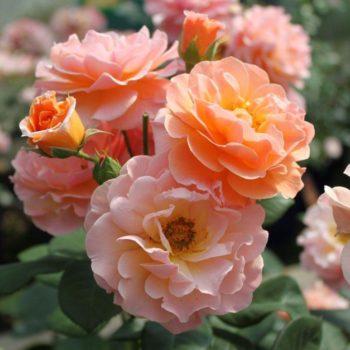 Роза английская Арабия-1