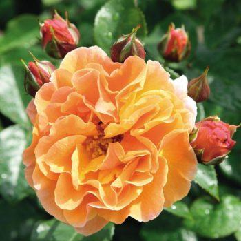 Роза английская Арабия-2