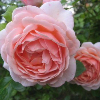 Роза английская «Афродита»-2