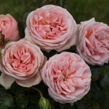 Роза английская «Афродита»-1