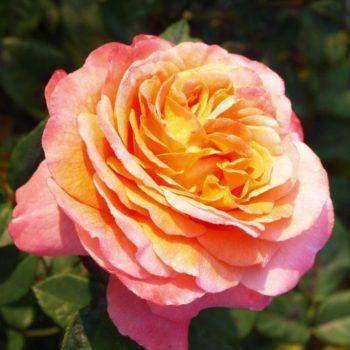 Роза английская «Августа Луиза»-1
