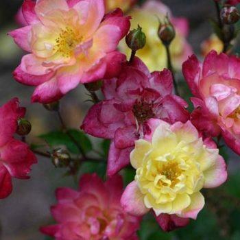 Роза миниатюрная «Беби Маскарад»-1