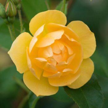 Роза английская Баттеркап-1