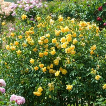 Роза английская Баттеркап-2