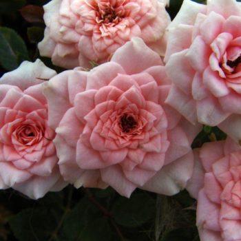 Роза миниатюрная «Даниэлла»-1