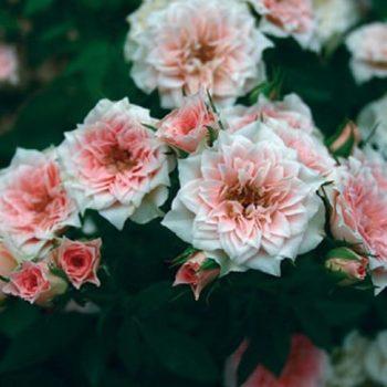 Роза миниатюрная «Даниэлла»-2