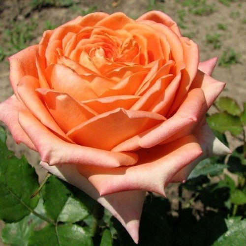 Роза английская «Эльдорадо»