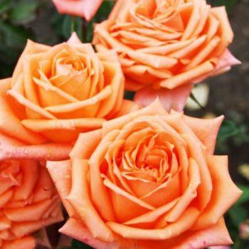Роза английская «Эльдорадо»-2
