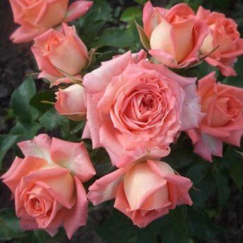 Роза английская «Эльдорадо»-1