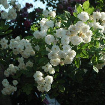 Роза английская «Франсин Остин»-2