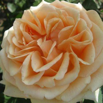 Роза английская «Гейша»-1