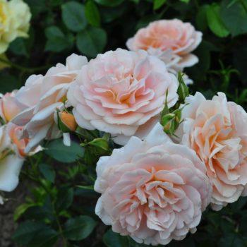 Роза английская «Гейша»-2
