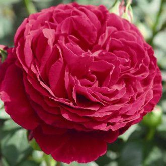 Роза английская «Госпел»