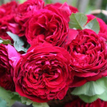 Роза английская «Госпел»-1