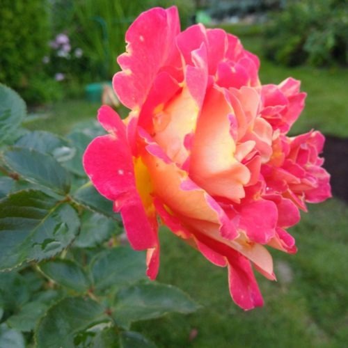 Роза плетистая «Арлекин»