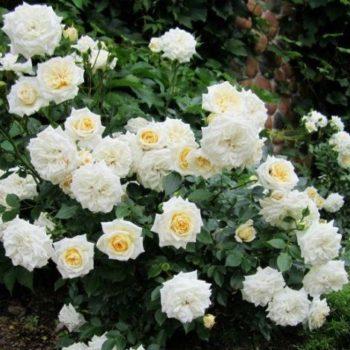 Роза плетистая «Арлекин»-2