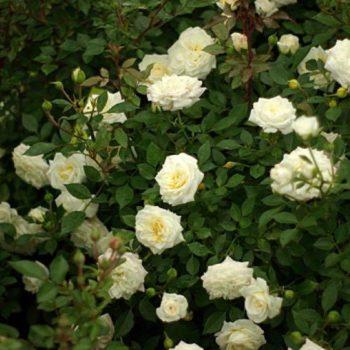 Роза плетистая «Арлекин»-1