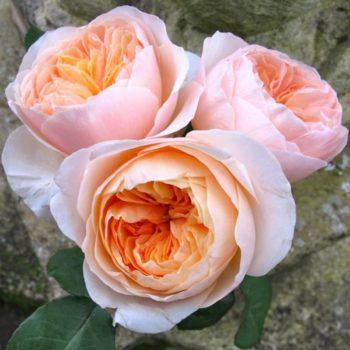 Роза английская Джульетта-2