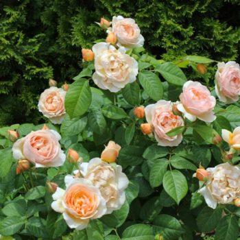 Роза английская Джульетта-1