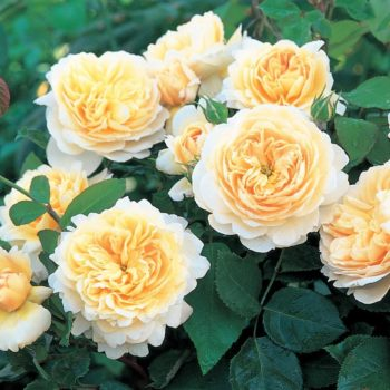 Роза английская «Крокус Роуз»-1