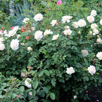 Роза английская «Крокус Роуз»-2