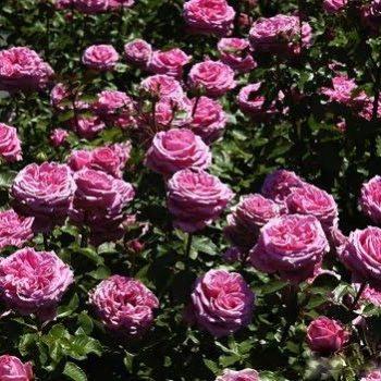 Роза английская «Август Ренуар»-1
