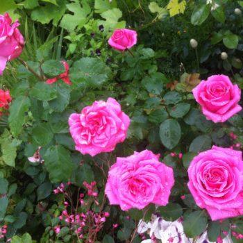 Роза английская «Август Ренуар»-2