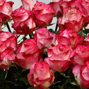 Роза Игуаза-1