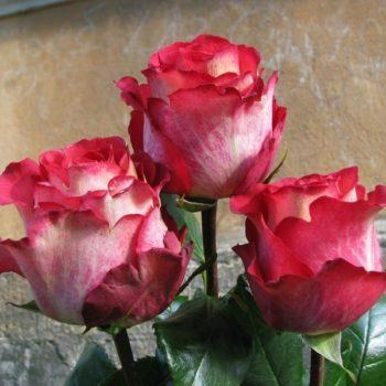 Роза Игуаза-2