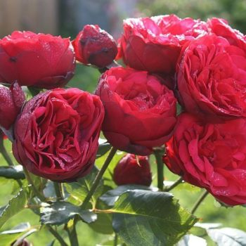Роза английская «Пиано Ред»-2