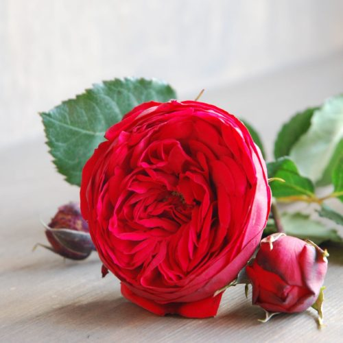 Роза английская «Пиано Ред»
