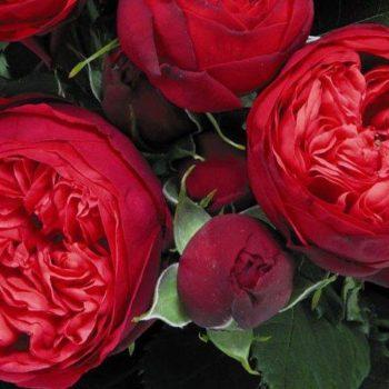 Роза английская «Пиано Ред»-1