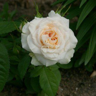 Роза миниатюрная «Пикси»