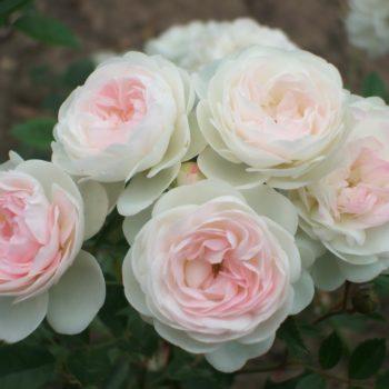 Роза миниатюрная «Пикси»-2