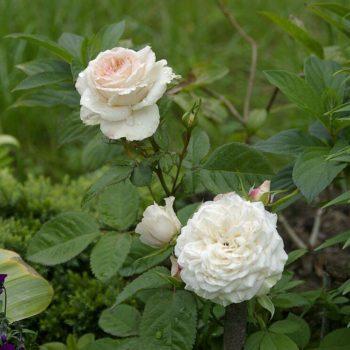 Роза миниатюрная «Пикси»-1
