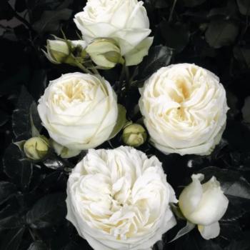Роза английская «Пиано Веддинг»-2