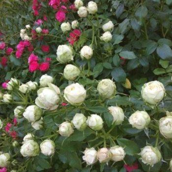 Роза английская «Пиано Веддинг»-1