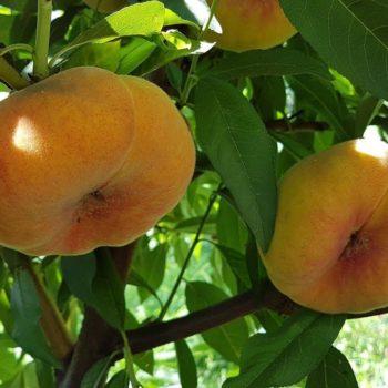 Персик инжирный  Бельмандо-1